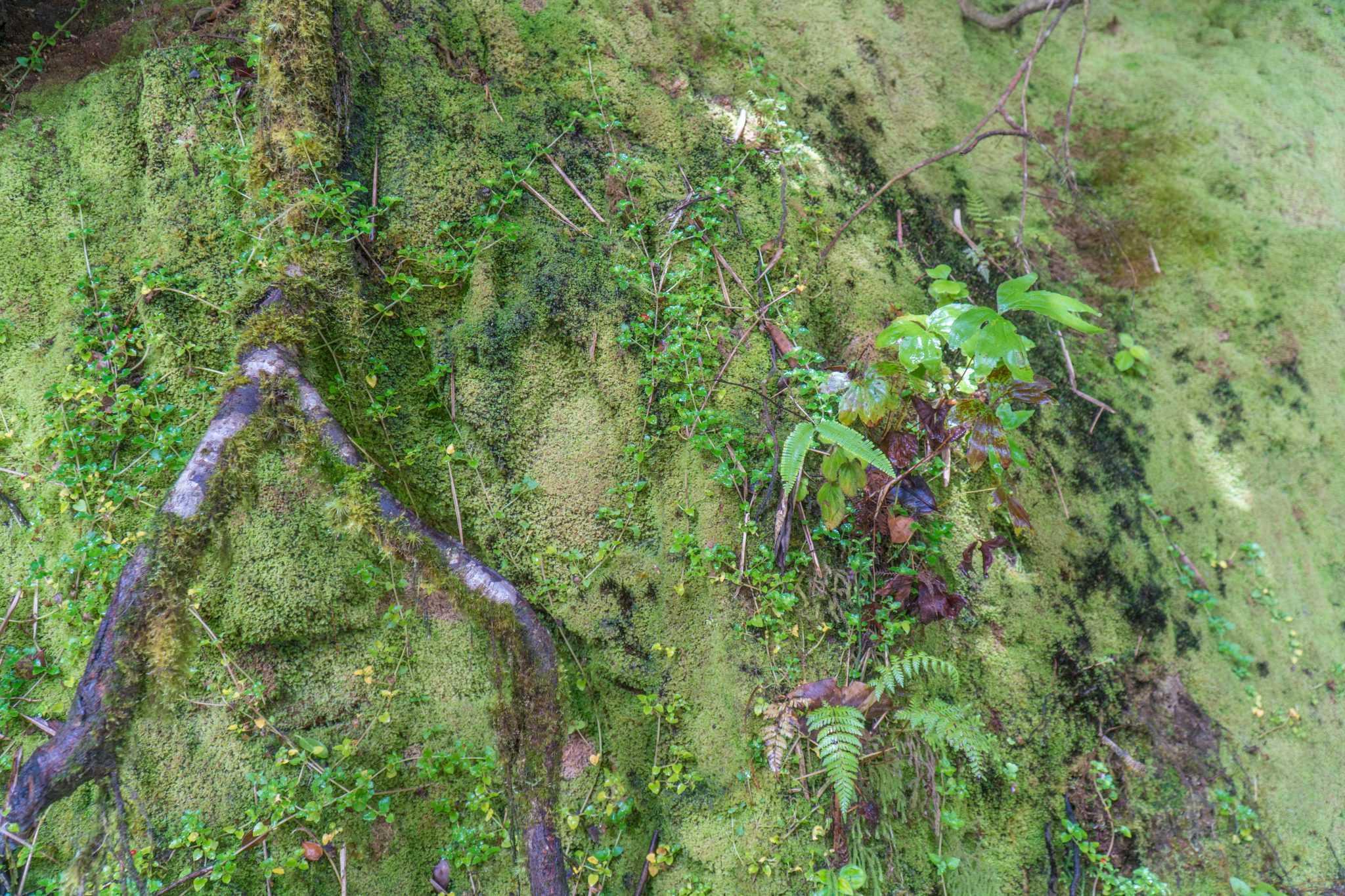 Mossy Forest tient son nom de la mousse omniprésente sur ces arbres...
